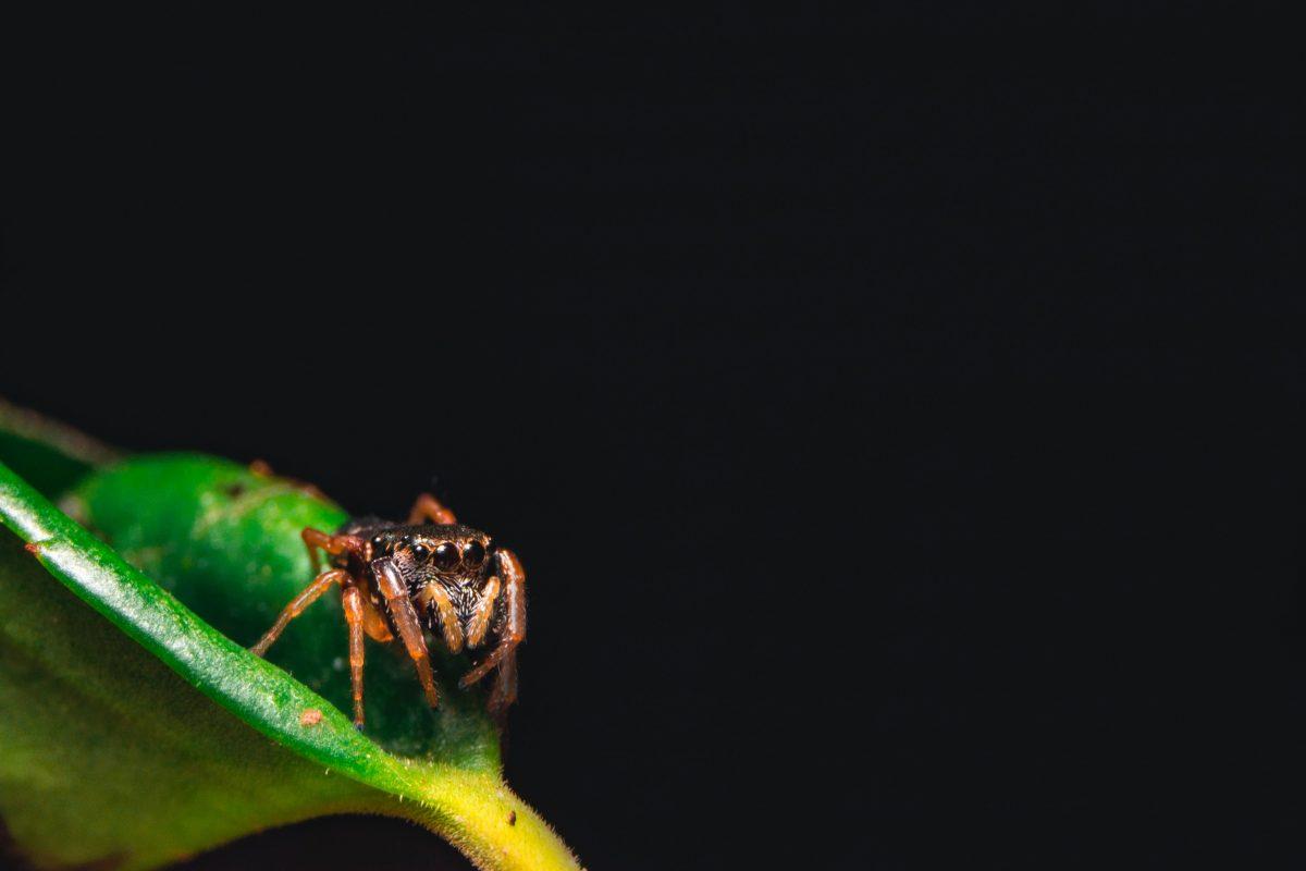 טוטם עכביש