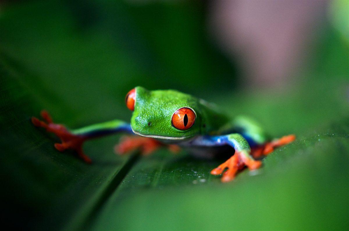 טוטם צפרדע